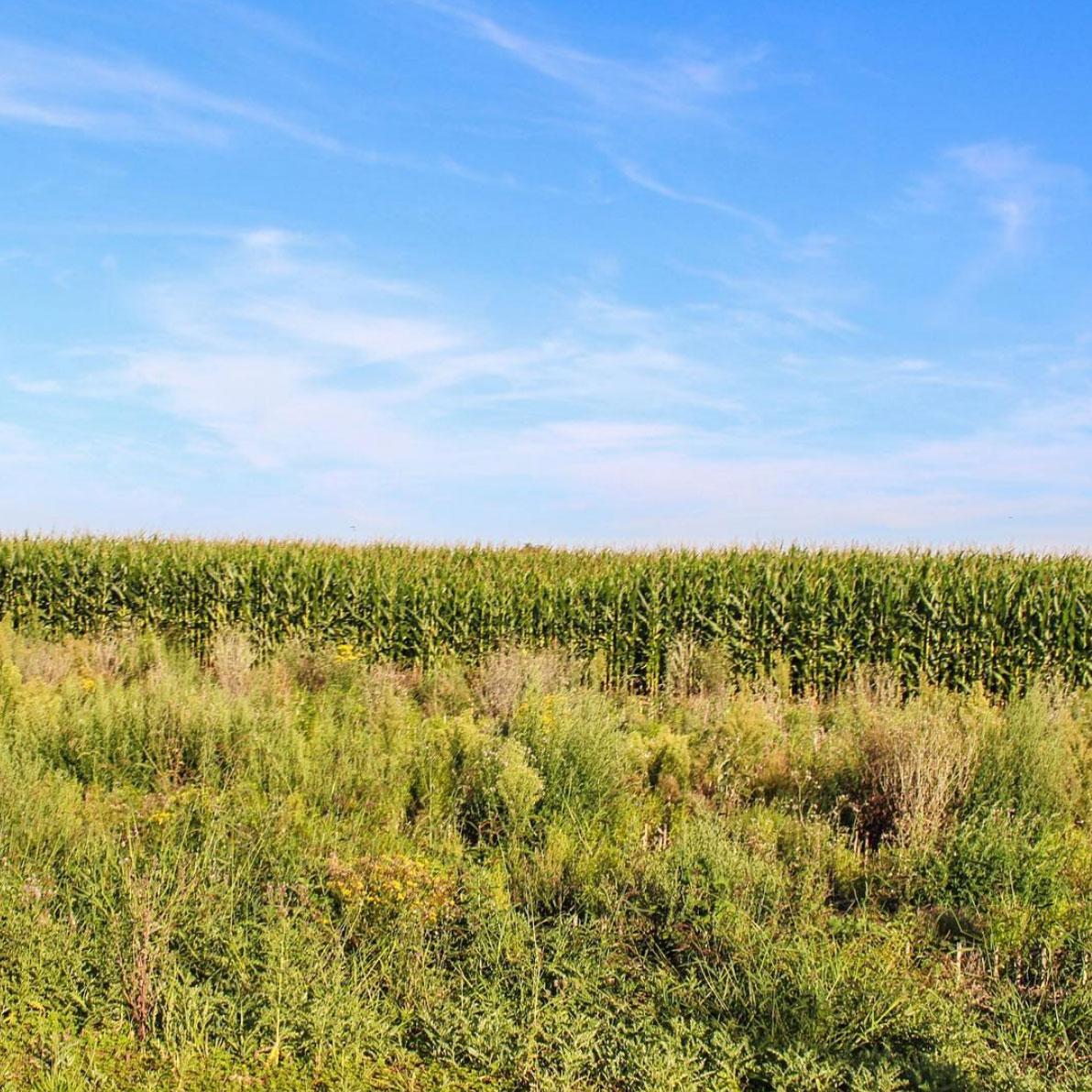 Corn fields in Germany