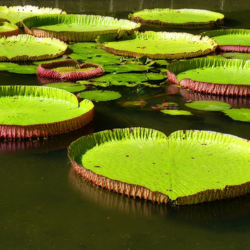 giant lilies in botanical garden in Mauritius