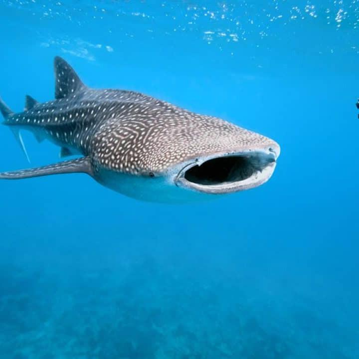 Whale shark honduras