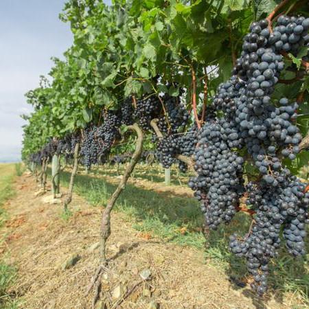Wine uruguay