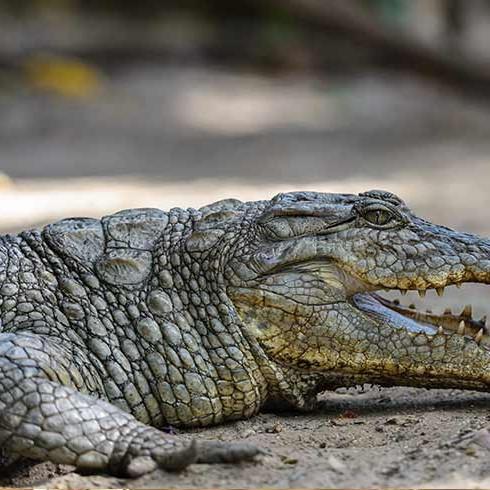 gambia crocodile