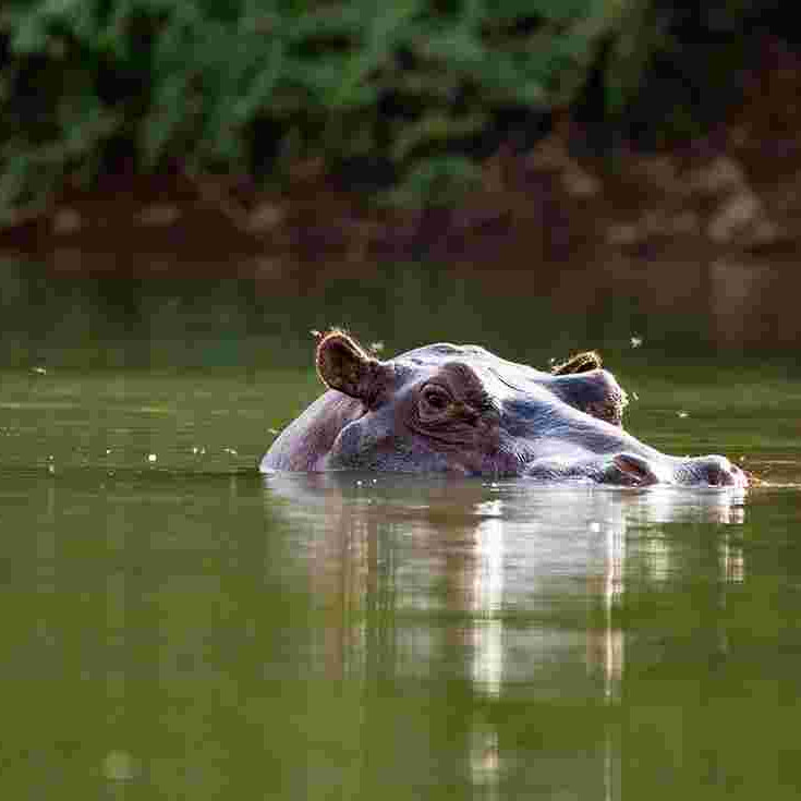 hippos gambia rive