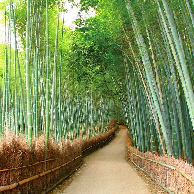Arashiyama bamboo groove Japan