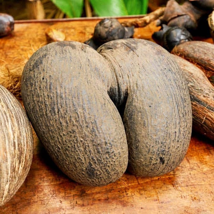 Biggest seed in the world the seychelles