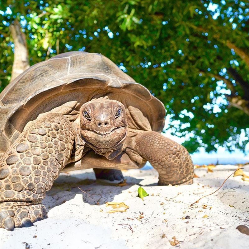 Tortoise the Seychelles