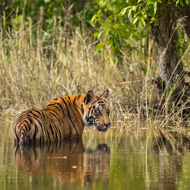 tiger in bandhavgarh india