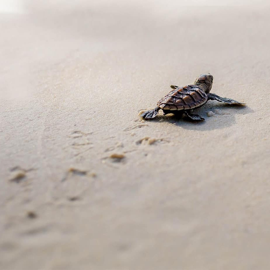 turtle nesting nevis the caribbean travel guid
